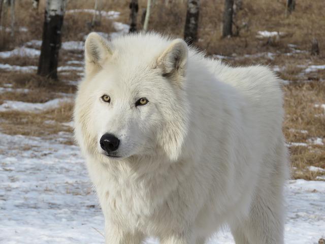全身真っ白でふさふさな毛並みが特徴の白い狼