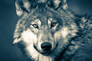 やさしく微笑むハイイロの狼