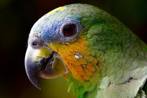 青・緑・黄色の身体のオウム